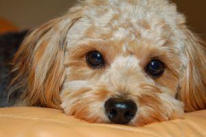 Designerhund Poogle